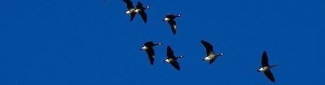 Alaska. Kenai Peninsula. Kenai Flats. Flock of Canada geese (Branta Canadensis) flying .